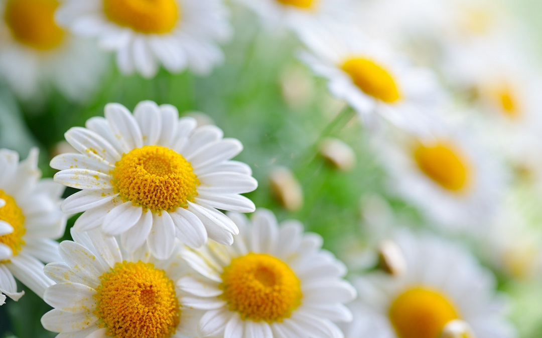 Daisy Flower - It's Meanings And Varieties of Daisies