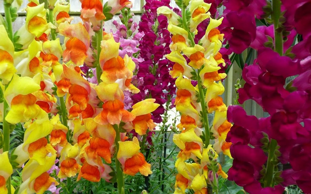 Gladiolus Flower - Its Meanings And Some Interesting Fact