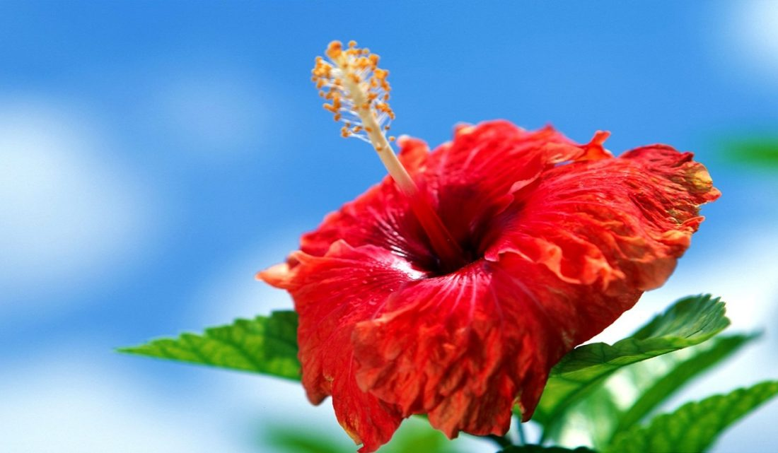 Meanings Of Hibiscus Flower And Hibiscus Citrus Tea