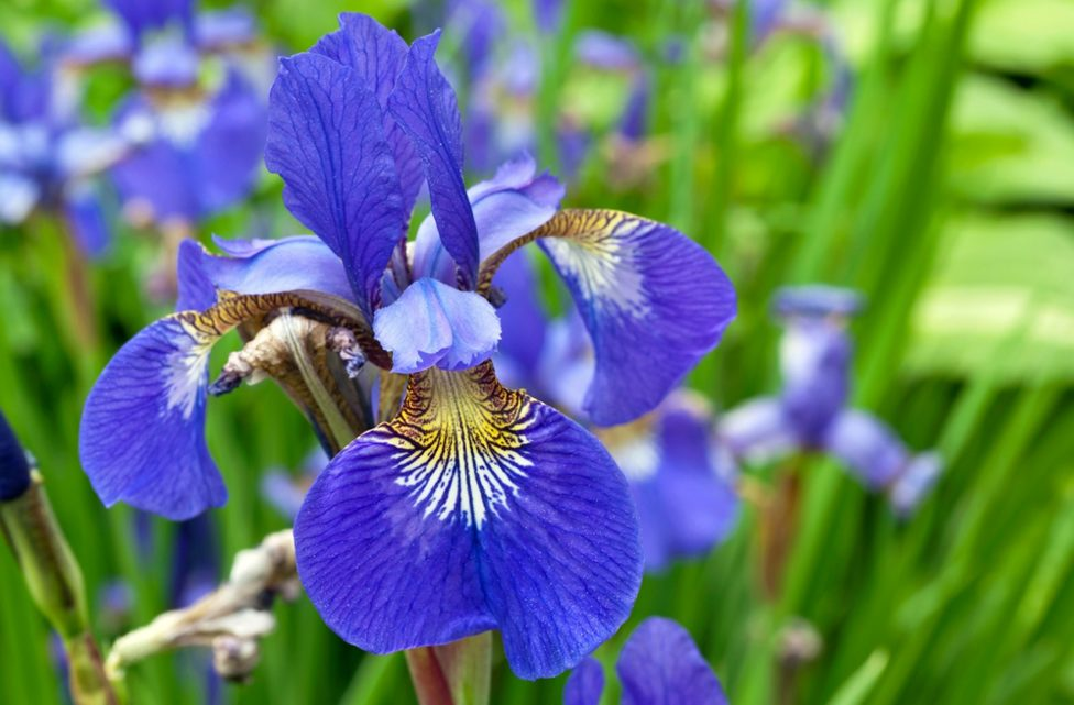 Iris Flower - its Meanings, Varieties and Types of Iris