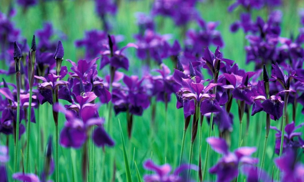 Iris Flower Its Meanings Varieties And Types Of Iris
